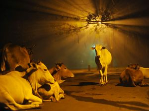 cows-india-diwali_48268_990x742